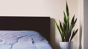 snake plant next to a bed